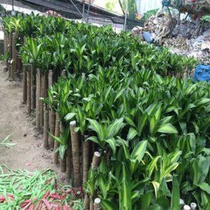 cay-thiet-moc-lan-1-300x300 Cây thiết mộc lan - loại cây bạn nên chọn mua ngay
