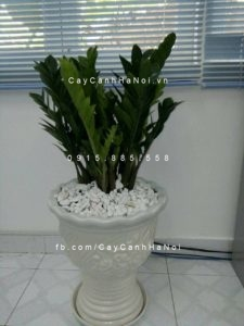 cây-phát-tài-để-bàn-300x260 Cây phát tài - loại cây đứng hàng đầu trong việc mang về tài lộc và may mắn