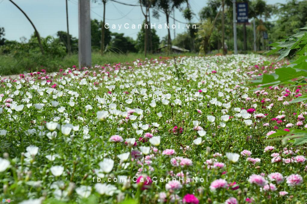 hoa-muoi-gio Chọn hoa mười giờ Mỹ hợp phong thủy cho tổ ấm của bạn.