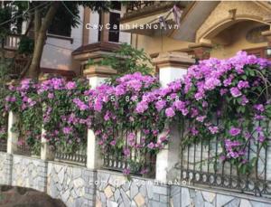 Capture-300x229 Cây hoa lan tỏi - cây leo giàn đẹp mắt, hấp dẫn cho mọi nhà