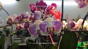 IMG_4080-300x200 Lan Hồ Điệp – Loài hoa phù hợp để đặt trong ngôi nhà của bạn