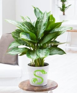 -nghĩa-cây-ngọc-ngân-300x225 Cây ngọc ngân - mang không khí mát rượi vào căn phòng bạn
