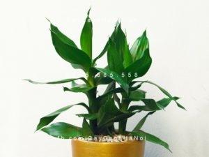 cây-phát-lộc-để-bàn-300x225 Cây phát lộc - loại cây phong thủy được ưa chuộng vì đem lại thịnh vượng