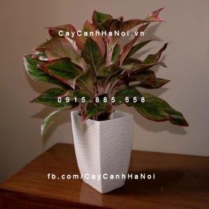 vẻ-đẹp-của-cây-phú-quý-300x300 Cây phú quý đem lại nhiều may mắn và cải thiện sinh khí cho mọi không gian