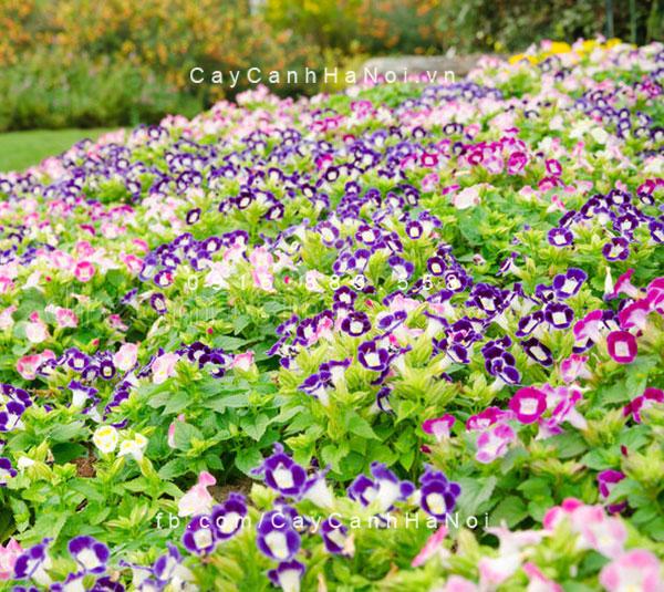 hoa-mat-nai-1-1 Hoa mắt nai đem lại sự thuận lợi cho gia đình bạn
