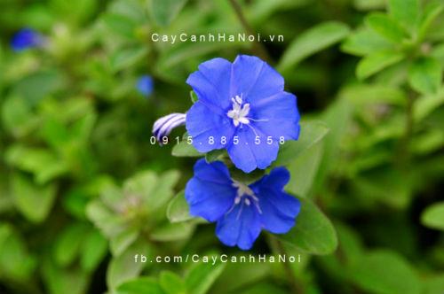 cay-hoa-thanh-tu-6a Xua đuổi vận khí xấu cho căn nhà với hoa thanh tú