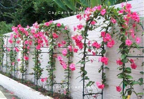 hoa-hong-anh-4a-1-500x358 Điểm tô sắc nắng cùng với hoa Hồng Anh